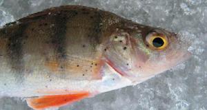 Развенчан популярный миф о вреде рыбы